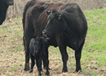 Black cows and black calves in field.